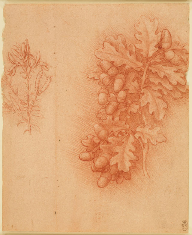 Leonardo da Vinci, Oak (Quercus robur) and dyer's greenweed (Genista tinctoria), c1505–10. Red chalk with touches of white heightening on pale red prepared paper, 18.8 x 15.4 cm. Royal Collection Trust © Her Majesty Queen Elizabeth II.