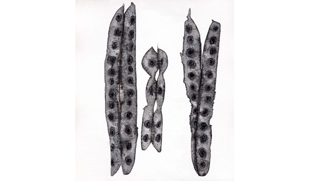 Jenny Crompton. Wattle seed pods, 2011. Ink and paper.
