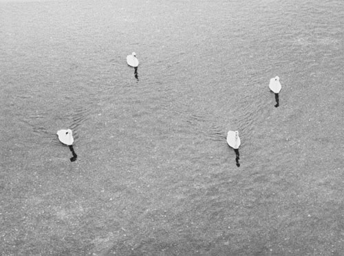 Jochen Lempert. Untitled (four swans), 2006. Silver gelatin print. © VG Bild-Kunst, Bonn, for Jochen Lempert. Courtesy of ProjecteSD, Barcelona.