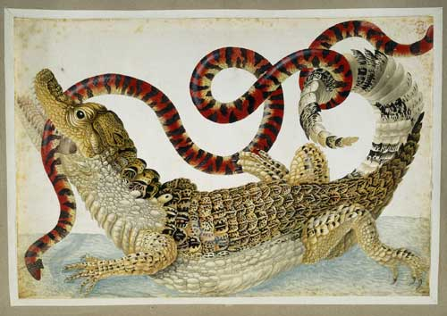 Maria Sibylla Merian, drawing of a Surinam caiman fighting a South 