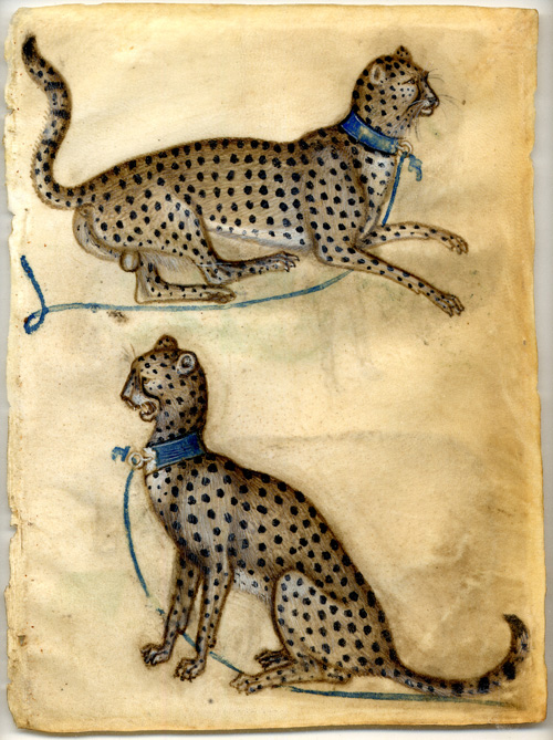 Anon Lombard. <em>Two cheetahs</em>, 1400-10. Bodycolour and watercolour on vellum. A fine example of a model book drawing from north Italy where useful animal poses would be collected together as a storehouse for embellishing paintings and manuscripts. Copyright the Trustees of the British Museum.