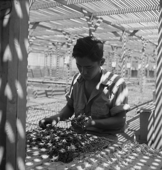 Dorothea Lange. Manzanar Relocation Center, Manzanar, California. An evacuee is shown in the lath house sorting seedlings for transplanting. These plants are year-old seedlings from the Salinas Experiment Station, 1942. Courtesy National Archives