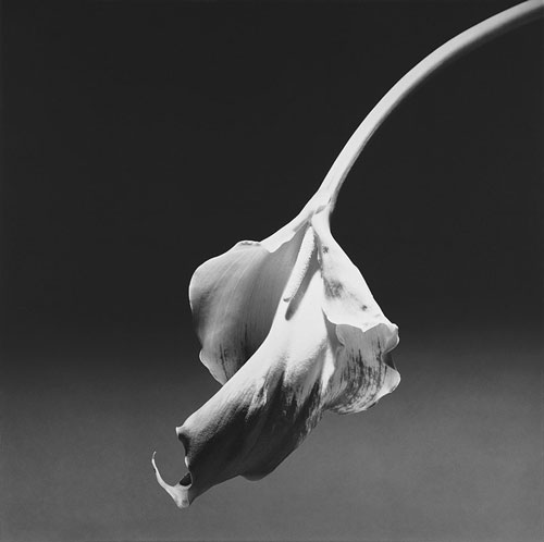 Robert Mapplethorpe. Calla Lily, 1986. Gelatin silver print, 92.7 x 92.7 cm. New York, Solomon R. Guggenheim Museum, Don de la Fondation Robert Mapplethorpe 1997. © Robert Mapplethorpe Foundation. Used by permission.