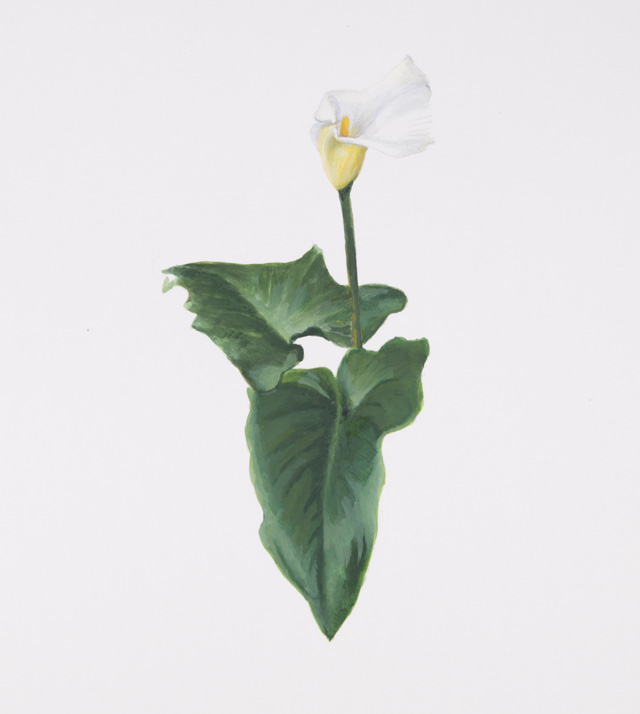 Maryam Najd, Botanic: National Amalgamation Project (detail). Calla Lily (Zantedeschia aethiopica). Ethiopia. Acrylic on paper, 11.69 x 16.54 in (29.7 x 42 cm). Photo: Miguel Benavides.
