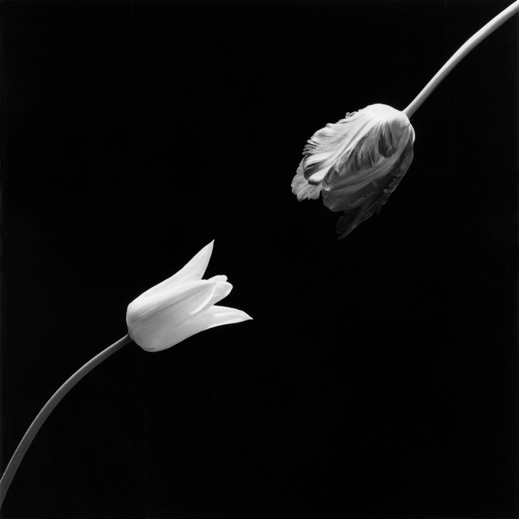 Robert Mapplethorpe, Tulip, 1984. © Robert Mapplethorpe Foundation. Used by permission.