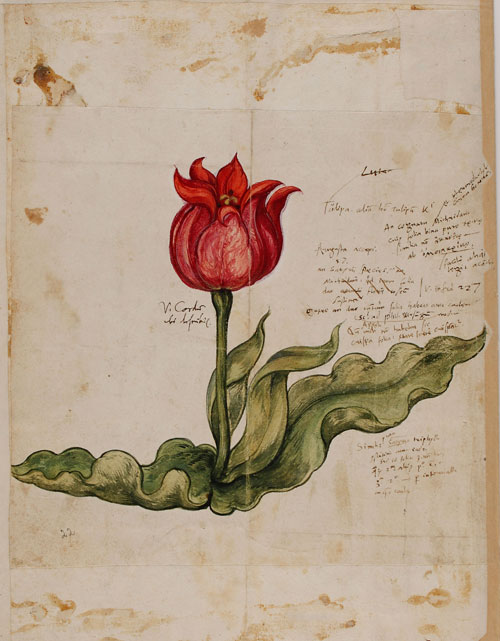 Conrad Gessner. Historia plantarum, Drawing © Erlangen, University Library.