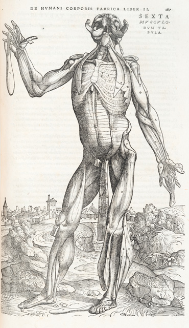 Illustration of the muscles of the torso in Isagogae breves. Dissected and probably drawn by Jacopo Berengario da Carpi, woodcut artist unknown. Published Bologna, 1523. © Royal College of Physicians. Photo: Mike Fear.