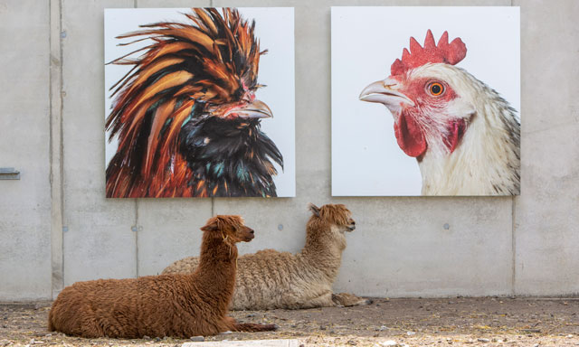 Alpacas in the Cosmopolitan Culture Park, LABIOMISTA, Genk (BE). © Koen Vanmechelen, 2019. Photo: Tony van Galen for the city of Genk.